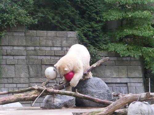 Zoo Wuppertal, Anori, Eisbärentag