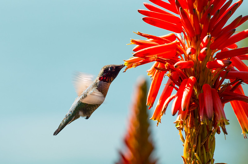 Humming Bird at Ragged Point - Route 1 (USA)