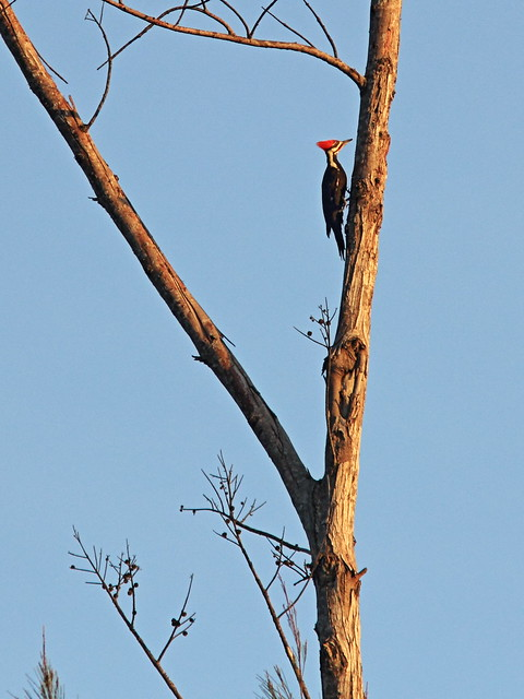 Pileated Woodpecker 3-20150123