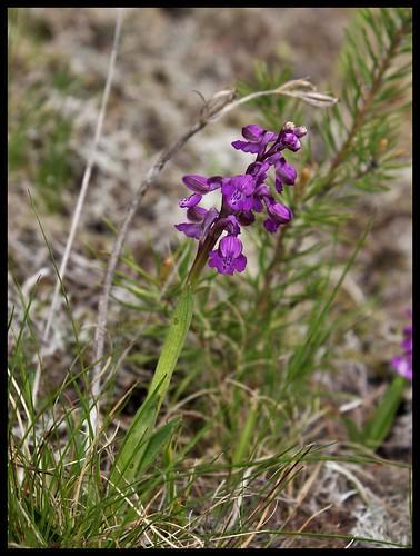 Orchis morio (2)