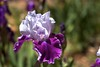 Two Colored Irises Open Up