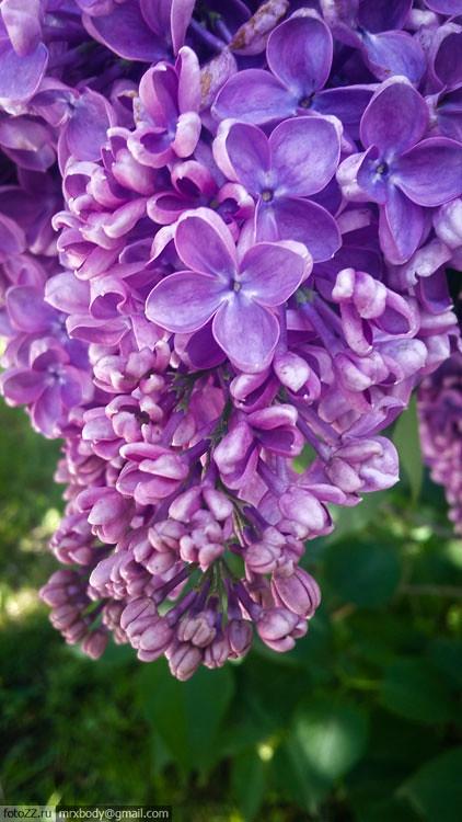 04-LilacGarden