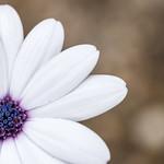 violett and white