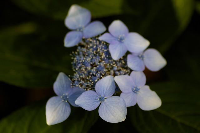 Hydrangea. macrophylla f. normalis