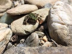 Arrogant French Frog