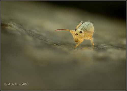 Tue, 08/23/2016 - 09:42 - Oh dear; another springtail shot, but I just couldn't resist this one!  This is the aquatic globular springtail Sminthurides aquaticus. I took quite a few shots of them in our garden wildlife pond today. The high water level (after all the rain) has allowed them access to the sides of the pond's edging stones. I took several shots of this female, but it wasn't until I got the shot onto the PC, that I could see she was having a wash!  Globular springtails are capable of producing a globule of saliva that they then roll over their cuticle. Fascinating behaviour to observe in such a small creature. This individual ~ 1mm in length.   Canon MP-E 65mm macro (at x5) + 1.4x tele-extender + 32mm extension tubes + diffused MP24-EX TwinLite flash. Hand-held.