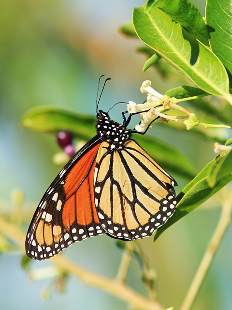 Monarch butterfly 20141031
