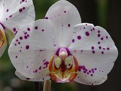 Phalaenopsis Zamora