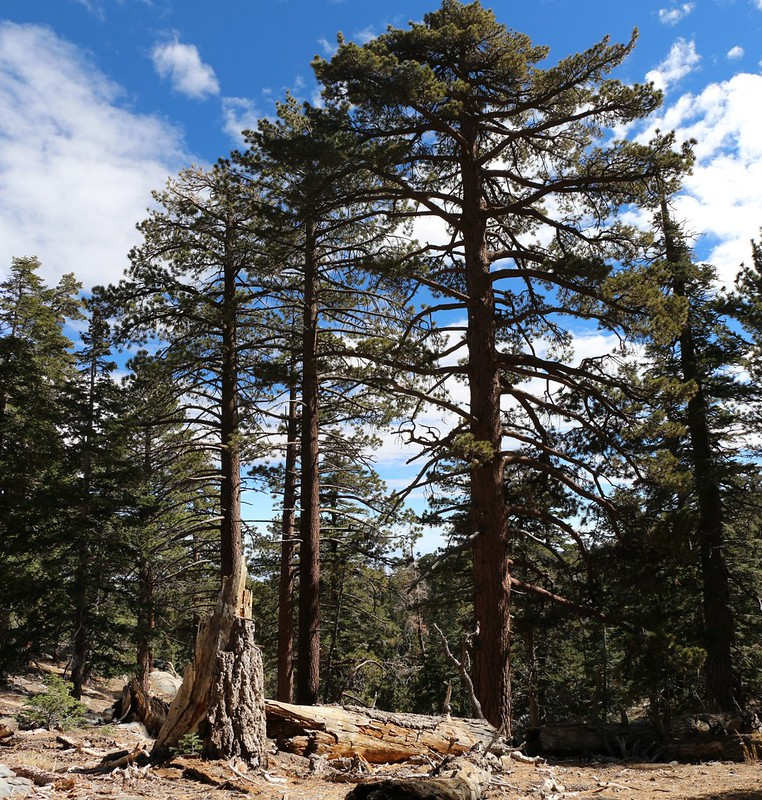 Tall Pines near the upper end of the Sid Davis Trail