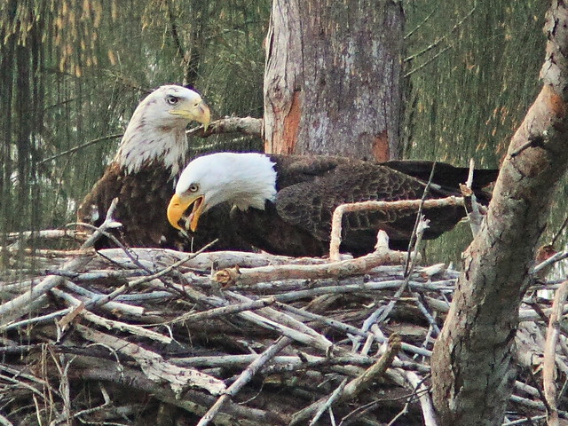 Bald Eagles Pride and Female 20150111