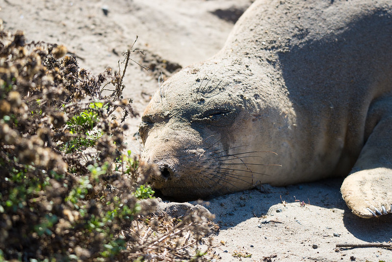 elephant Seal taking a nap
