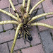 Giant Amazon Lily - Victoria Amazonica - dead