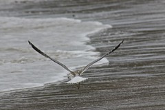 juvenile silver gull 1