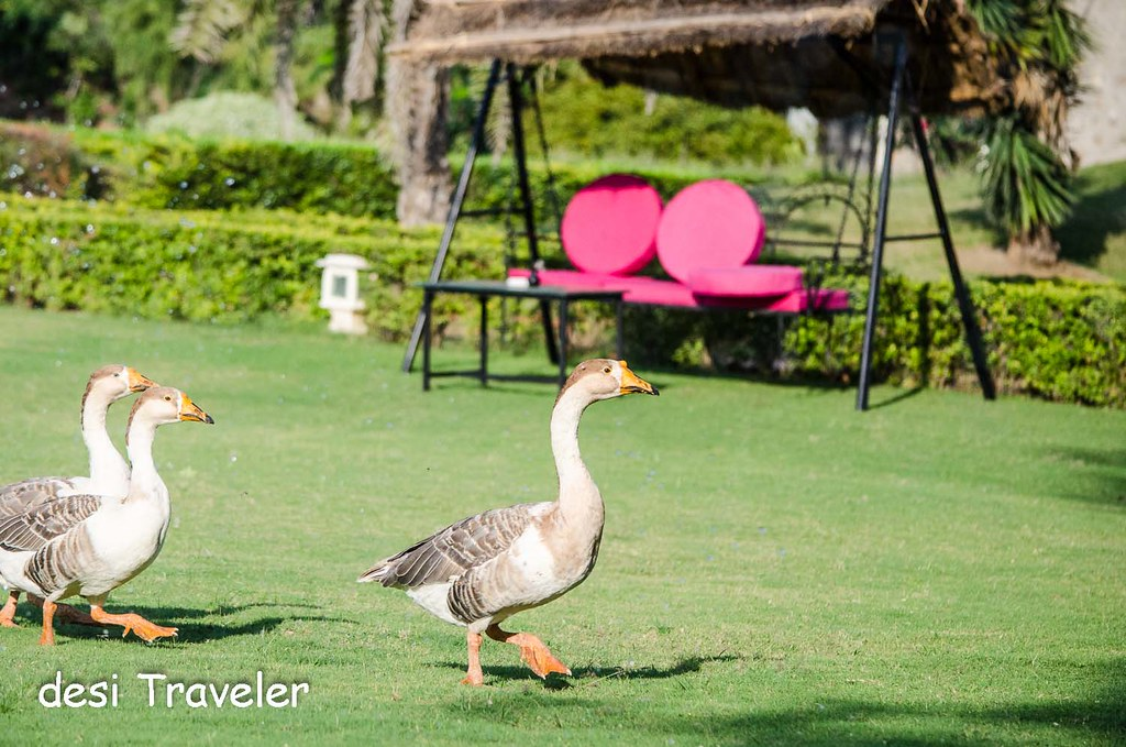 Ducks in Garden Pushkar Resorts Rajasthan