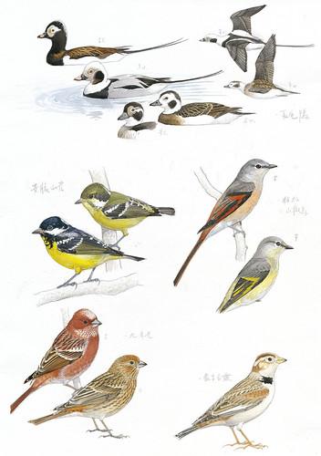 鳥類手繪圖_鴨科、雀科、山雀科、百靈科。(圖片來源:林務局提供)