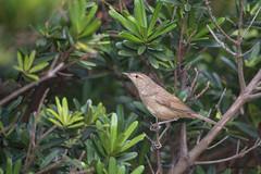 14遠東樹鶯
