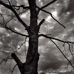 Naked old tree! #nature #naked #old #tree #woodstockontario @eduardontavares #blackandwhite #blackandwhitephotography