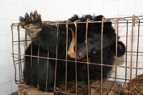 Bear on a farm, China