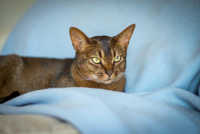 Boric Acid For Fleas On Cats
