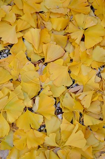 golden gingko garden