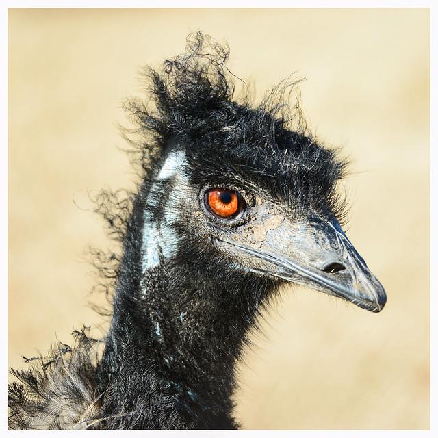 Peacock - Woolaroc