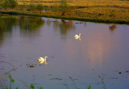 sunset birds landscape swan bush poland polska backwater ptaki krajobraz krzew zmierzch łabędź światłocień rozlewisko coloursofwater chairscuro barwywody