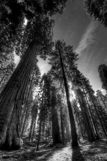 Sequoia Light
