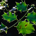 Holly leaves in the light by judy dean