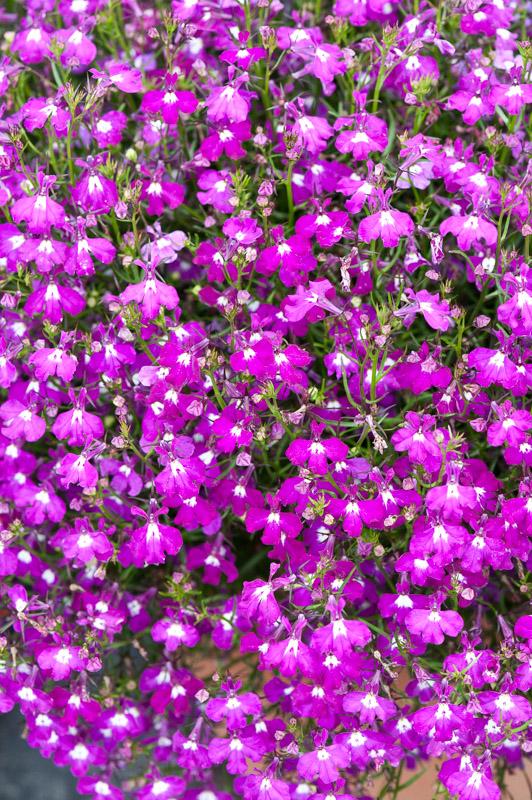 Lobelia Erinus Regatta Rose Lobelia Erinus Regatta Rose Flickr