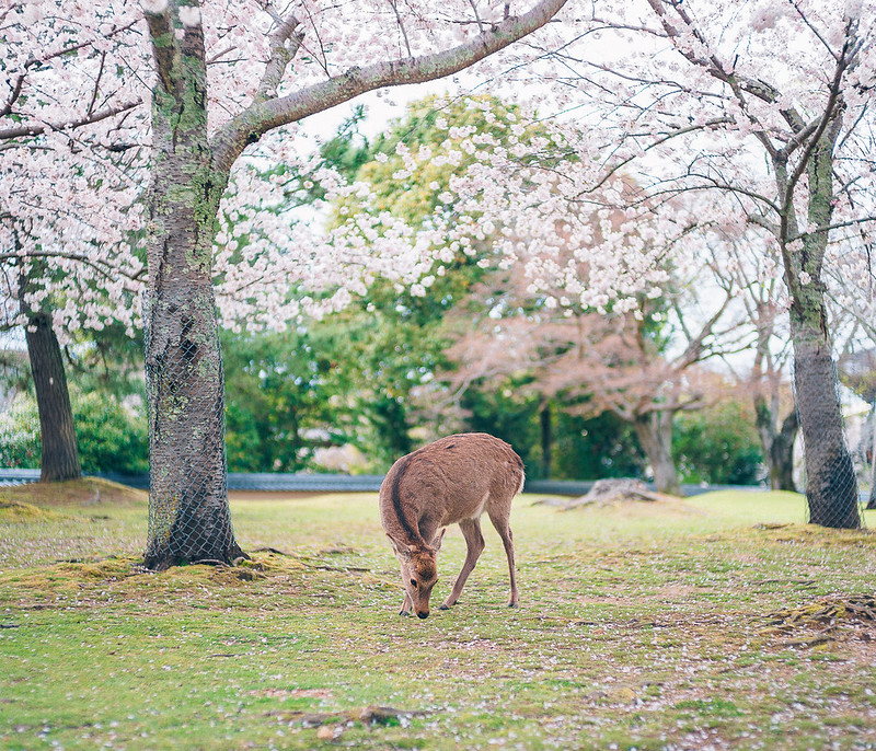 6.Roaming Under The Cherry Blossoms.