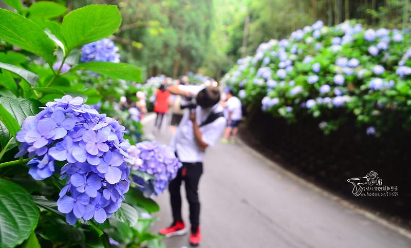 繡球花 (7)