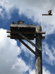 7/6/16 - Osprey nest at the Union Bay Natural Area