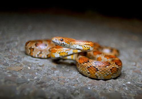 Corn Snake- Pantherophis guttatus