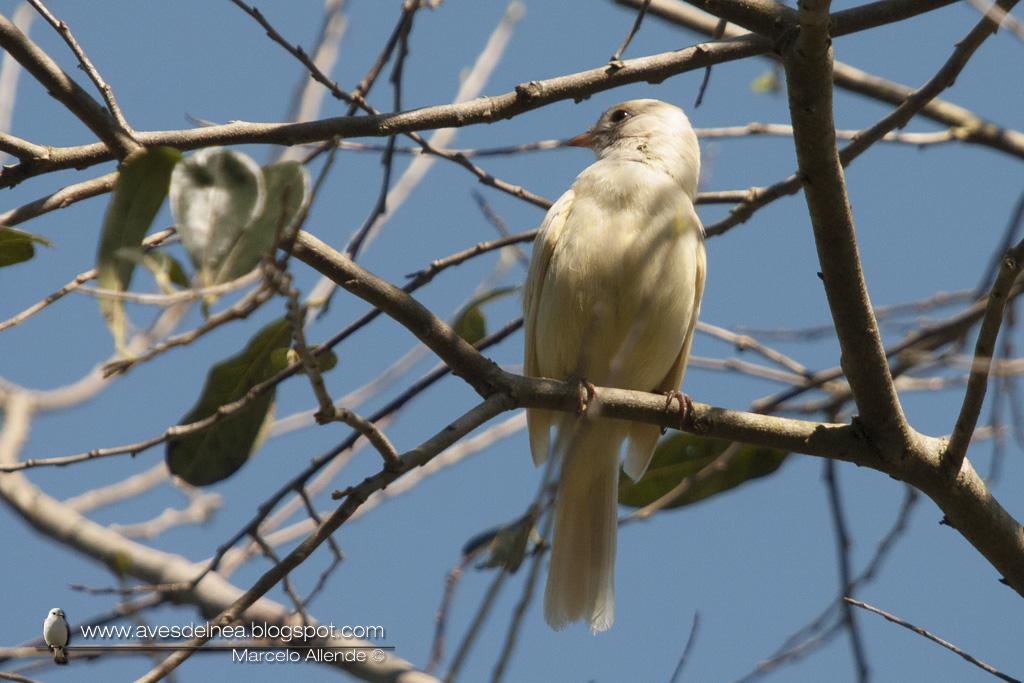 Fiofío copetón (Yellow-bellied Elaeni) Elaenia flavogaster