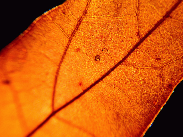 oak-leaf-texture