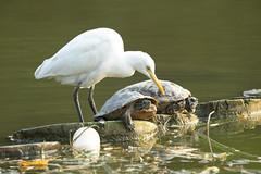 Little egret vs turtles