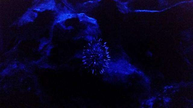 A sea urchin under the nighttime ligh