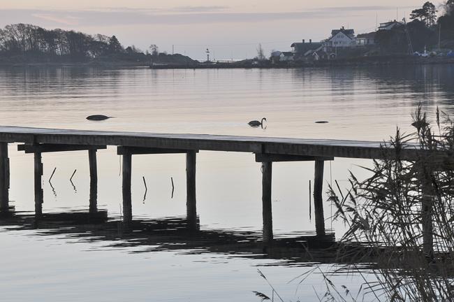 stilla morgon och en svan