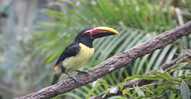 Aracari, Green