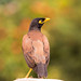 Myna by Senthilvel Photography
