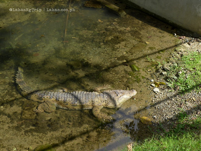 Crocodiles at the Botanical & Zoological Gardens. Maria Cristina Falls in Iligan City, Philippines