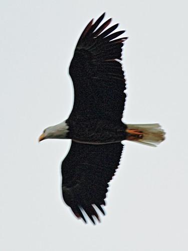 Bald Eagle male in flight 02-20141207