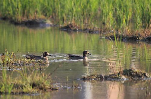小水鴨是監測雁形目鳥類的指標物種,族群數不斷掉落。(攝影:呂翊維)