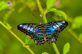 Beautiful butterfly (please id)