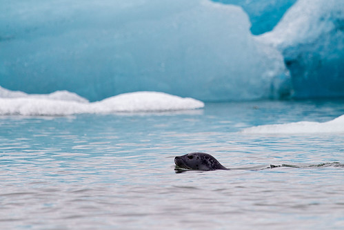 Seal in Jökulsarlon
