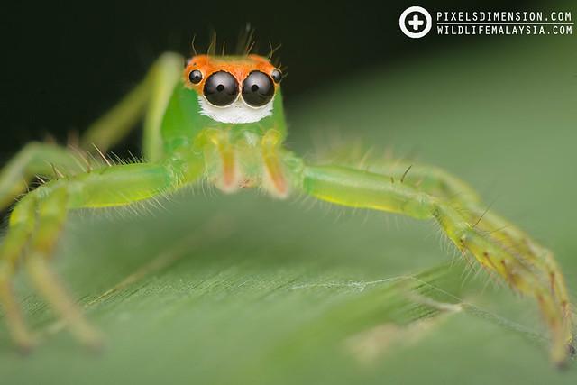 A Double-Yellow Line Epeus- Epeus flavobilineatus ♀