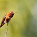 Allens Hummingbird by marj k