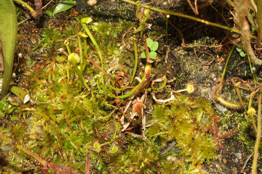 Sarracenia flava seedlings with Drosera rotundifolia