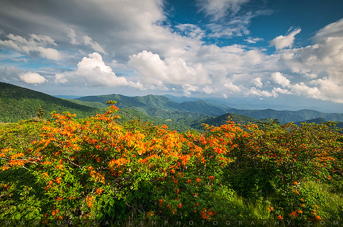 flowers orange mountains nature landscape outdoors nc spring azaleas tn tennessee scenic northcarolina trail appalachian springflowers appalachiantrail appalachians roanmountain flameazalea at