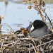 American Coots in the Nest by marlin harms